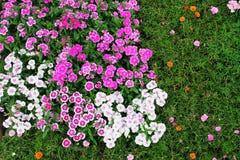 Fondo clasificado de las flores rojas y blancas Fotografía de archivo