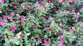 Fondo color de rosa de Grunge Fotografía de archivo libre de regalías