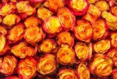 Fondo color de rosa de la naranja de la belleza Fotos de archivo