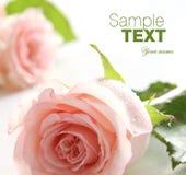 Fondo color de rosa del color de rosa imagen de archivo libre de regalías