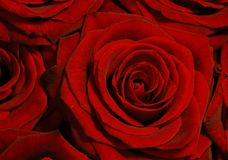 Fondo color de rosa del rojo Imagenes de archivo