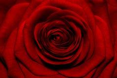 Fondo color de rosa del rojo hermoso Imagen de archivo