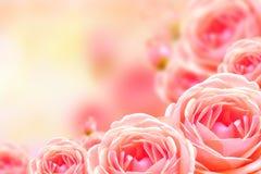 Fondo color de rosa hermoso de la flor y de la falta de definición Foto de archivo libre de regalías