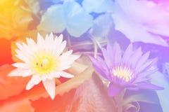 Fondo colorido de la flor de Lotus Efecto del tono del vintage Imagen de archivo