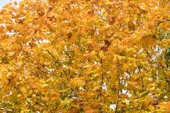 Fondo colorido de las hojas de arce foto de archivo libre de regalías