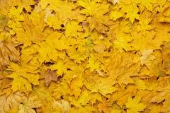 Fondo colorido de las hojas de otoño amarillas Imagen de archivo libre de regalías