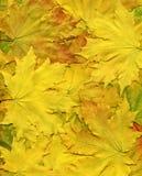 Fondo colorido de las hojas de otoño amarillas. Tamaño grande. Imagen de archivo libre de regalías