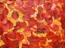 Fondo colorido de las hojas de otoño rojas Imagenes de archivo
