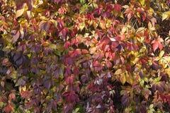 Fondo colorido de las hojas del otoño - enredadera Foto de archivo libre de regalías