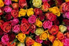 Fondo colorido de las rosas Imagen de archivo libre de regalías