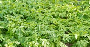 Fondo coltivato di agricoltura delle piante di patate Fotografie Stock