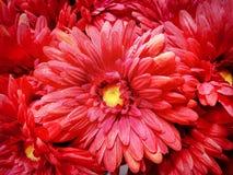 Fondo completo della struttura dei fiori artificiali rossi Fotografie Stock Libere da Diritti