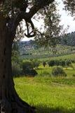 Fondo con di olivo nella priorità alta e le colline nelle sedere Fotografia Stock Libera da Diritti