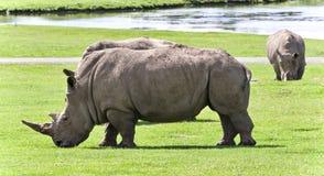 Fondo con dos rinocerontes que comen la hierba Imágenes de archivo libres de regalías