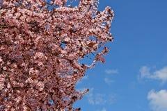 Fondo con el flor del árbol de ciruelo japonés imagenes de archivo