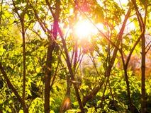 Fondo con gli alberi verdi al tramonto Immagine Stock