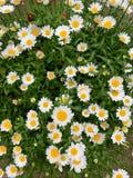 Fondo con i fiori bianchi ed il passaggio pedonale fotografia stock libera da diritti