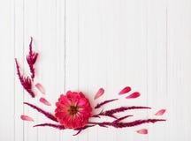 Fondo con i fiori di zinnia Fotografia Stock