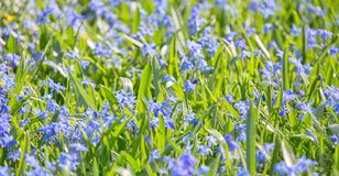 Fondo con i piccoli fiori blu in erba immagini stock libere da diritti