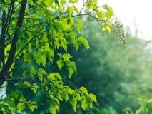 Fondo con i rami verdi al tramonto Fotografia Stock Libera da Diritti