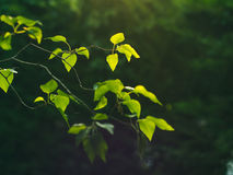 Fondo con i rami verdi al tramonto Fotografia Stock