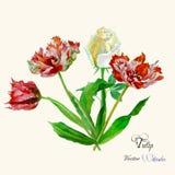 Fondo con i tulipani e roses-04 Fotografia Stock