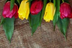 Fondo con i tulipani gialli e rossi Festa di concezione, marzo Fotografie Stock