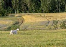 Fondo con la cabra femenina blanca en granja orgánica sostenible con los campos verdes debajo del cielo azul foto de archivo