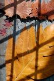 Fondo con la hoja de arce, forma de la caída del arte Fotografía de archivo