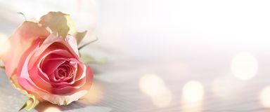 Fondo con la rosa del rosa Foto de archivo