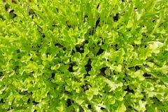 Fondo con la verdura de ensalada verde de la hoja en luz del día Imagen de archivo libre de regalías