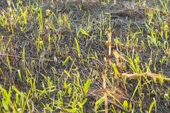 Fondo con las cenizas quemadas de la hierba Imagenes de archivo