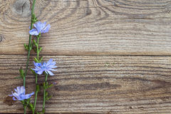 Fondo con las flores de la achicoria en los viejos tableros de madera Pla Imagen de archivo libre de regalías
