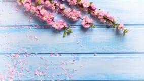 Fondo con las flores rosadas elegantes en tablones de madera azules Imagen de archivo libre de regalías