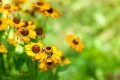 Fondo con las flores y las abejas amarillas Imágenes de archivo libres de regalías