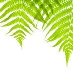 Fondo con las hojas enormes del helecho Fotografía de archivo libre de regalías