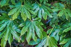 Fondo con las hojas tropicales verdes enormes foto de archivo libre de regalías