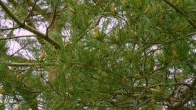 Fondo con las ramas de árbol de pino con las agujas verdes, cierre para arriba almacen de video