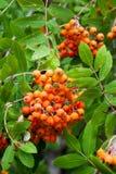 Fondo con le bacche di sorbo, la cenere di montagna o l'albero matura del Sorbus Immagine Stock Libera da Diritti