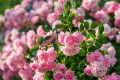 Fondo con le belle rose rosa Fotografie Stock
