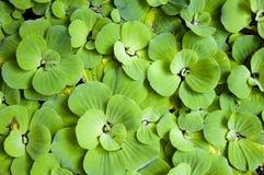 Fondo con le foglie della felce di acqua verde Fotografia Stock Libera da Diritti