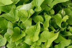 Fondo con le foglie fresche della lattuga immagine stock