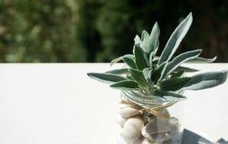 Fondo con le foglie verdi di salvia in barattolo con i ciottoli bianchi fotografia stock