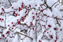 Fondo con los escaramujos rojos cubiertos con nieve Fotos de archivo