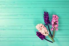 Fondo con los jacintos rosados, púrpuras frescos en la madera de la turquesa Fotos de archivo