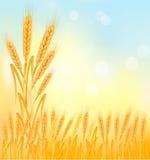 Fondo con los oídos amarillos maduros del trigo ilustración del vector