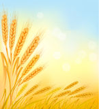 Fondo con los oídos amarillos maduros del trigo. stock de ilustración
