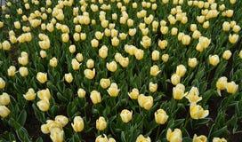 fondo con los tulipanes amarillos hermosos en la primavera y el verano Fotografía de archivo
