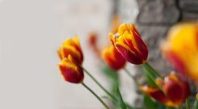 Fondo con los tulipanes coloridos color hermoso Imágenes de archivo libres de regalías