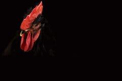 Fondo con un símbolo de 2017 - gallo negro Imagen de archivo libre de regalías